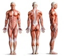 Muscle paralysis may promote breakdown of bones
