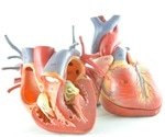 First realistic heart model may help better understand onset of cardiac arrhythmias