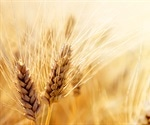 USDA scientist tries to naturally enhance minerals of wheat flours