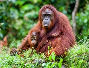Biomarkers in the teeth of orangutans provide new understanding of human breast-feeding evolution