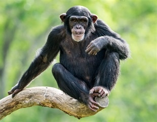 Study on chimpanzees shows maternal presence, maternal social status can impact offspring