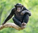 Bonobos may be more closely linked to anatomy of human ancestors, study finds