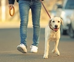 Happiness motivates dog walking, not health or social benefits