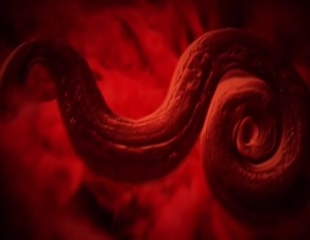 Rat Lungworm Disease in Hawaii