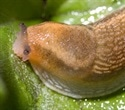 Slugs inspire a surgical bio glue