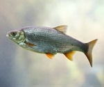 Male fish mutating into females - A toxicological fallout from remnants of human medicines in the ecosystems