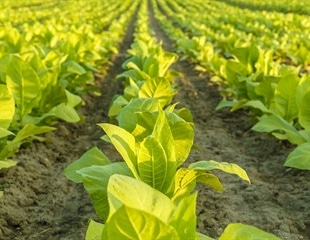 Polio vaccine developed using tobacco plants could transform how vaccines are made