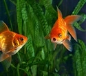 Goldfish survive lack of oxygen for months by converting their carbs to alcohol
