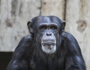 Aging chimps show Alzheimer's like brain changes – new research shows