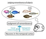 Researchers explore causal link between perirhinal neurons and mnemonic judgment of objects