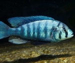 Using Spectroscopy to Study the Effects of Light and Color Perception in Fish Speciation