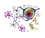 Researchers develop new model to better simulate blood brain barrier for study of diseases