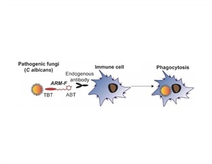Small-molecule immunotherapeutics could steer immune defense against fungal pathogens