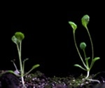 Circadian clock proteins set the pace of plant growth
