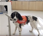 Dogs trained to sniff out malaria
