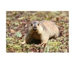 Himalayan marmot genome offers clues to high-altitude adaptation