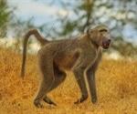 Xenotransplantation - Pig heart transplants keep baboons alive
