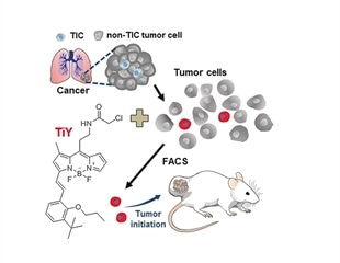 Scientists develop fluorescent probe to identify cancer stem cells