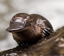 Platypus milk may help combat antibiotic resistance