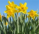 Daffodils may hold secrets of cancer cure
