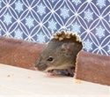 NYC mice carry deadly bacteria and viruses