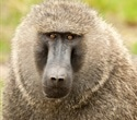 Baboons break out of research facility briefly