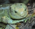 Lizards with bright green blood baffle scientists