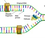 Mechanism of DNA Synthesis