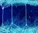 Lab-Grown Neurons