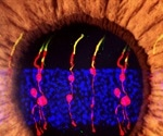 Scientists reverse congenital blindness in mouse model