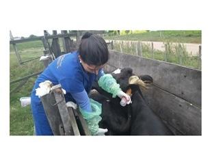 Researchers identify pathogenic Leptospira strains in Uruguay cattle