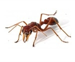 Red bull ant venom study could lead to better treatments for pain