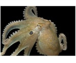 Ecstasy drug makes octopuses more social