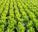 Tobacco Plants and Drug Development