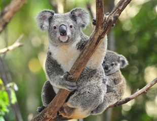 Koalas protect their germline cells against retroviral attack