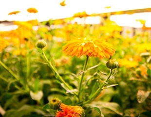 Medicinal plants: from genes to drugs