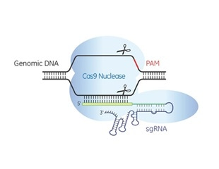Horizon Discovery adds predesigned synthetic single guide RNA to its product range