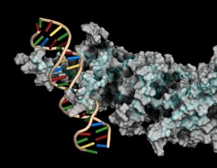 Researchers develop new approach for studying experience-driven activity of transcription factors