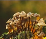 Bioactive compounds in mushrooms may fight neurodegeneration in later life