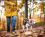 Dog walking increases risk of bone fractures in older adults