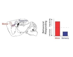 A new role for sensory signals in the brain discovered