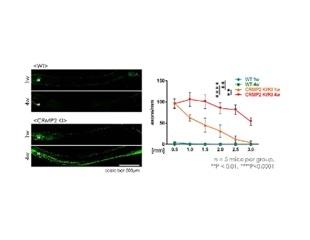 Inhibition of CRMP2 phosphorylation promotes axonal regeneration after optic nerve injury