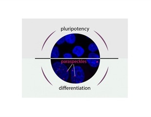 Scientists describe how cells 'decide' between pluripotency and differentiation