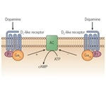 An Overview of Dopamine Receptor Pharmacology