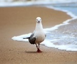 Australian seagulls carry superbugs