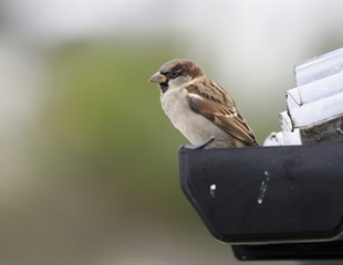 Wild birds help shed light on stress resilience in humans