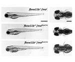 Research team discovers gene critical for human eye, brain and limb development