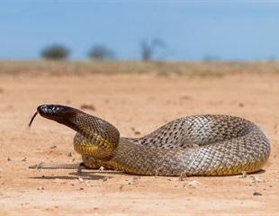 Snake stem cells create real venom to use as medicine