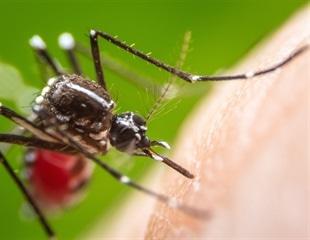 Genetically engineered mosquitoes halt Dengue spread