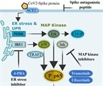 Study confirms SARS-CoV-2 spike glycoprotein promotes a hyper-inflammatory immune response